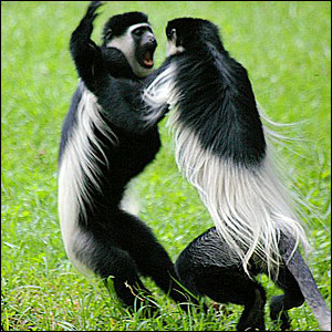 _44058312_monkeys300300